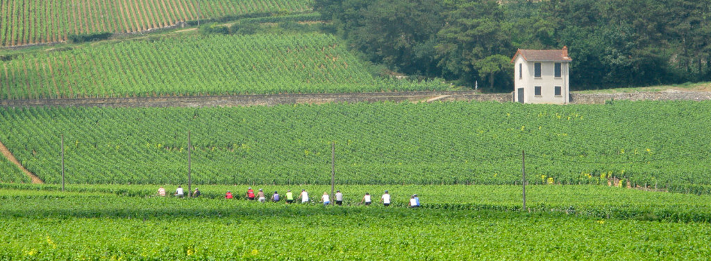 Cycling in the vineyards of Burgundy