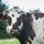 A Norman cow
