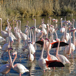 Flamingos in the Camargue © OT Aigues - Mortes