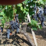 Ripe sangiovese grapes - lifesavers