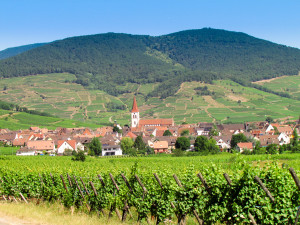 Vineyards surrounding Kintzheim