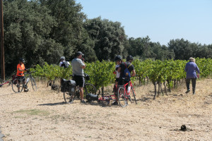 Grape scrumping in the Languedoc
