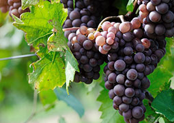 Pinot Meunier grapes, Bourdaire Gallois