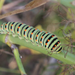 Common yellow swallowtail caterpillar - on fennel near-arles. Stephem Middleton